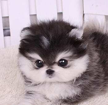Little fluffy puppy - image #1845405 by marky on Favim.com