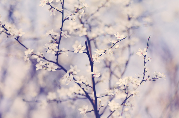 bokeh, cherry blossom, cute and floral