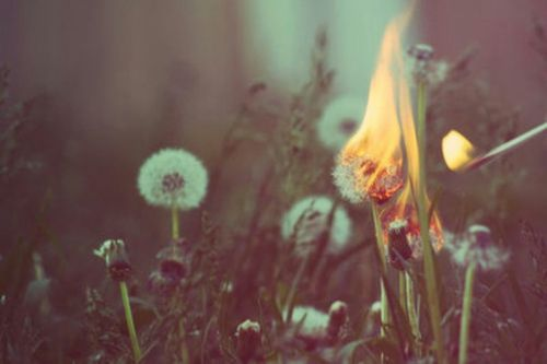 burn, dandelions, fire, lit, match