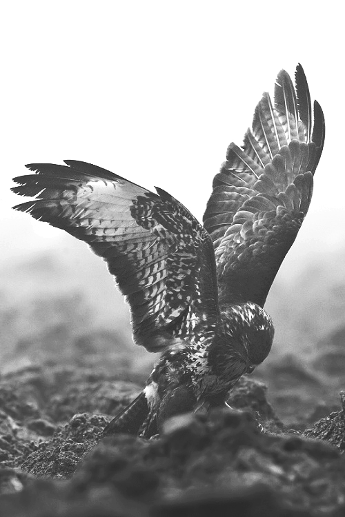 animal, black and white, darkness, eagle, gothic, horror, wings, varnuak