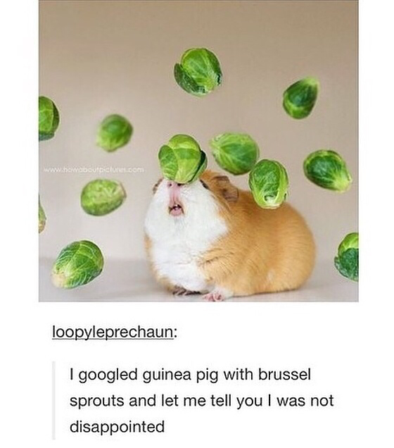 cute, funny, guinea pig and lmao