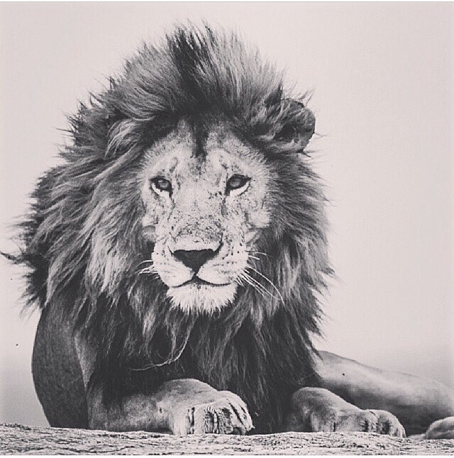 black and white, draw, lion