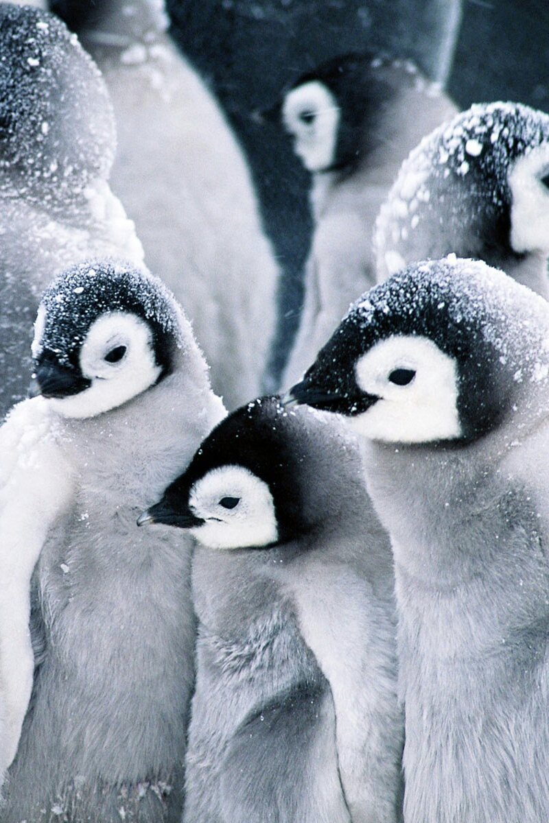 adorable, animal, background, black&white, cute, love, nature, penguins, snow, wallpaper