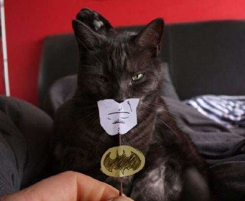 animal, batman, cat, creature, funny