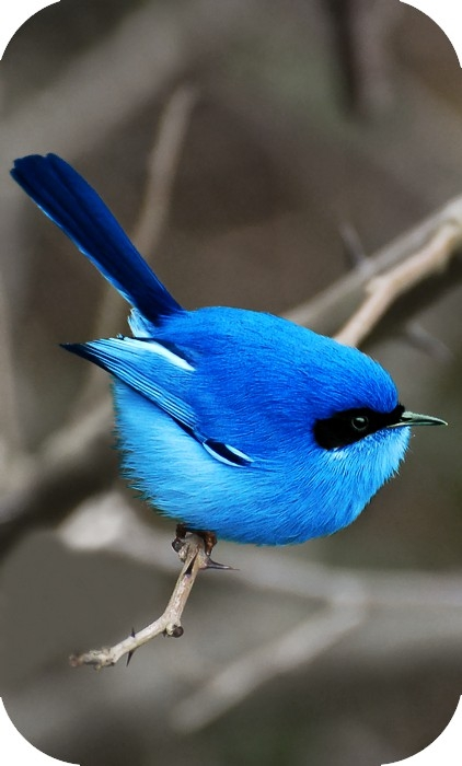 animal, bird, blue, funny