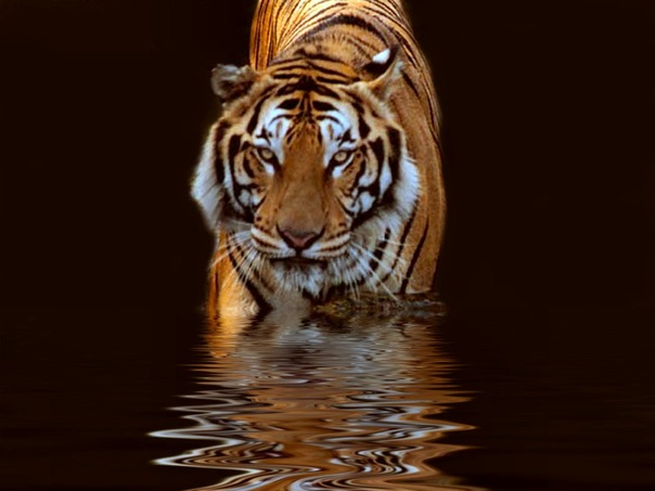 animal, nature, tiger, water