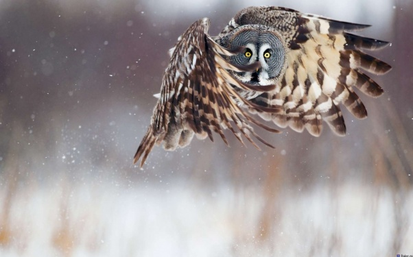 animals, birds, flying, bird, owl