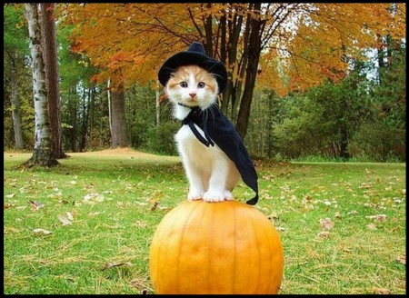 animals, cats, halloween, kitty