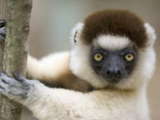 animals, lemur, madagascar