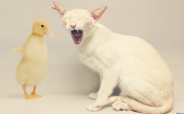animals, cat, duck, minimalism
