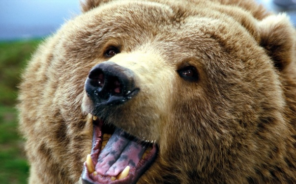 animals, bear, muzzle, view