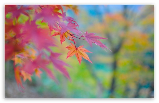 autumn, maple, japan, colors