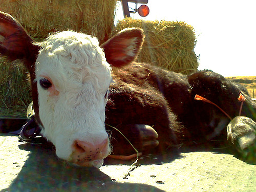 baby, cute, calf, summer, life