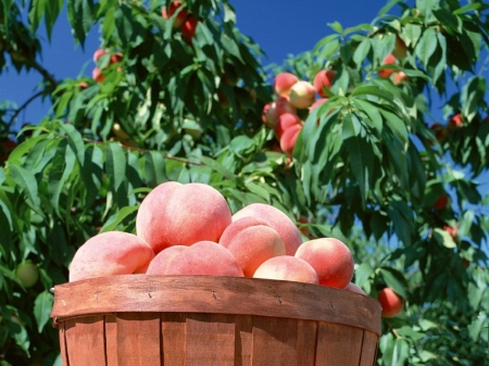 basket, of, peaches, tree