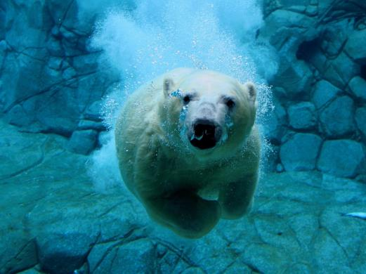 bear, under water, zoo