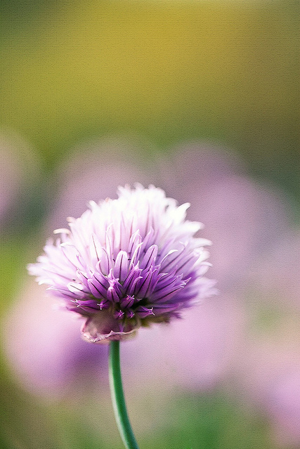 beautiful, bokeh, cute, photography, purple