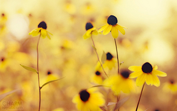 beautiful, flowers, love, nature, yellow