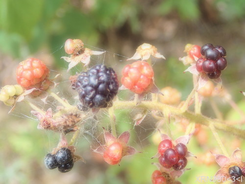 berries, blackberries, food, sweet, delicious