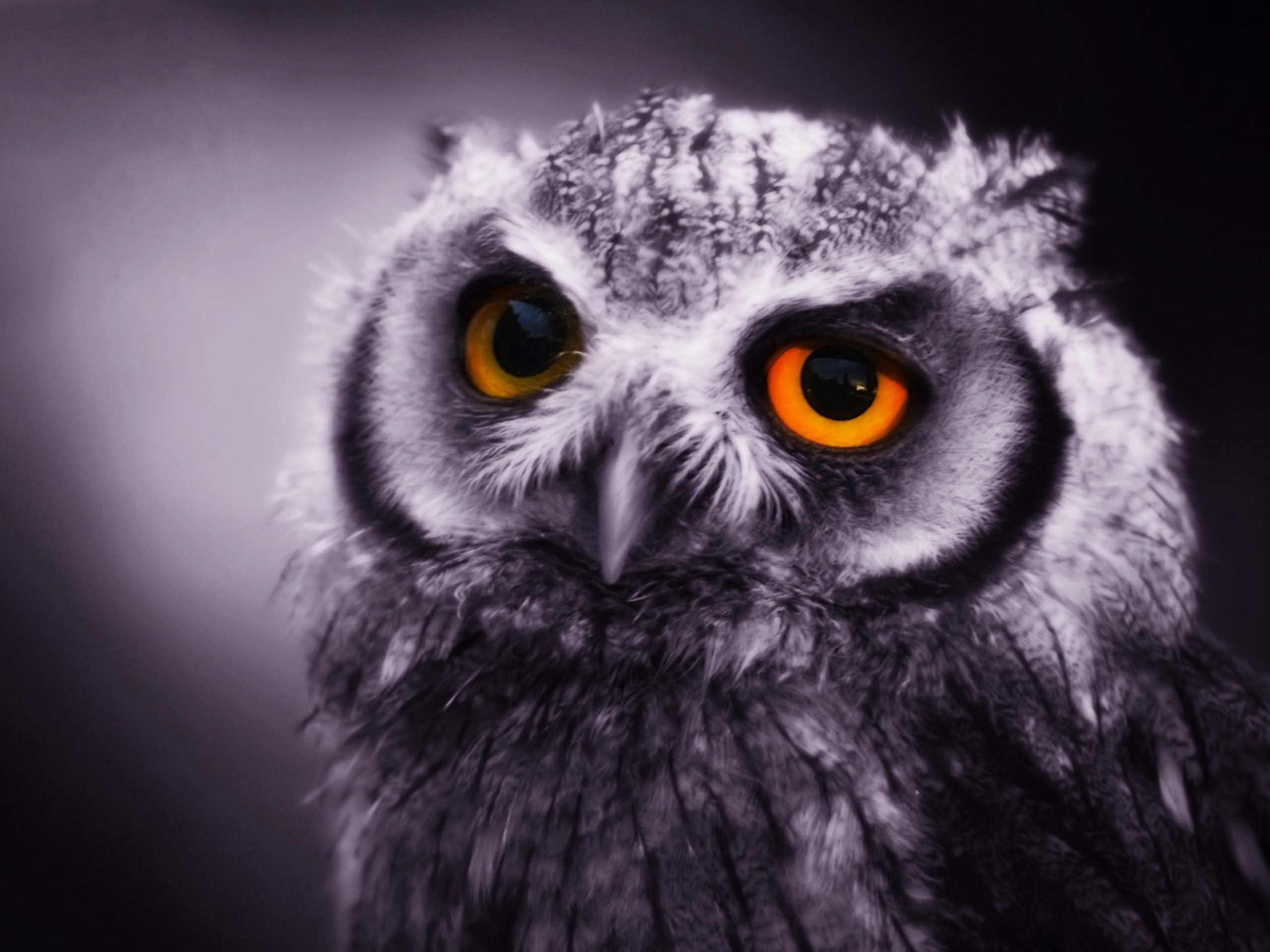 bird, owl, eyes