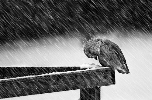 black and white, photography, bird, animal, rain