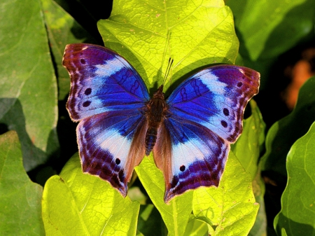 black, blue, butterfly, leaves, white