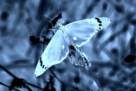 blue, butterflies, butterfly, nature
