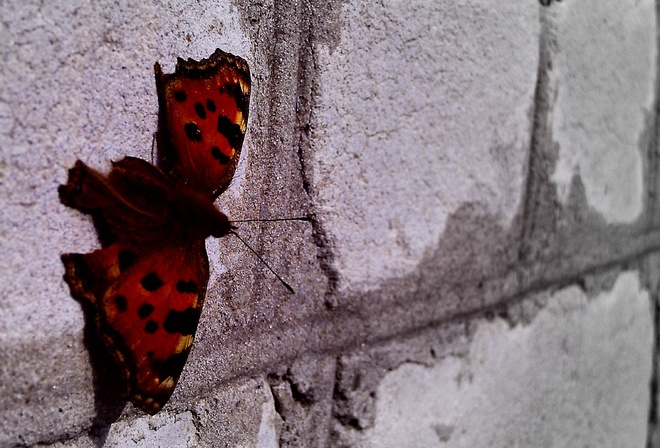 butterfly, wings are velvet, the wall