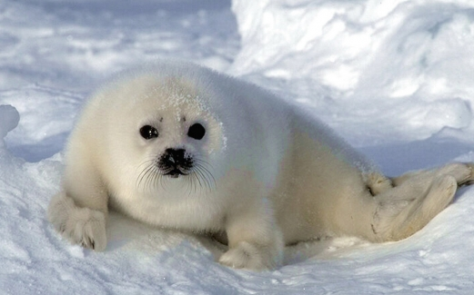 calf, seal, snow, ice