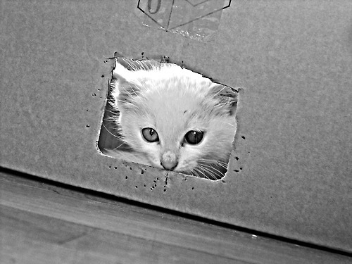 cat, black, white, cute, box