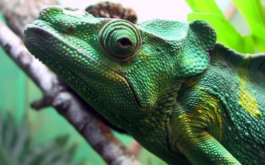 chameleon, close-up, colorful, reptile