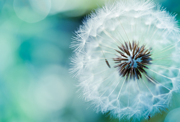 close-up, air, dandelion