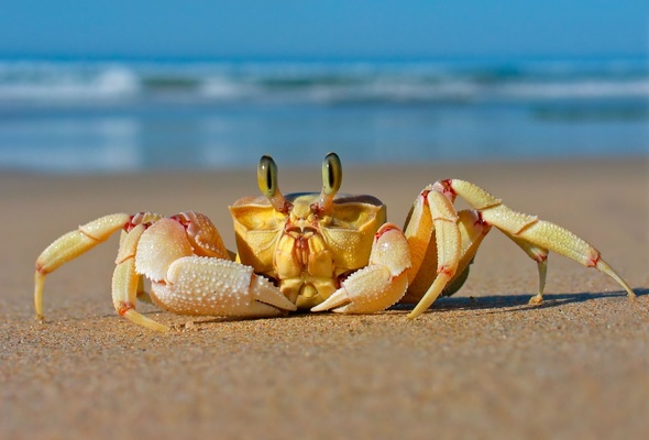 crab, beach, sea