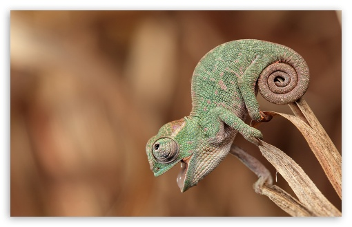 cute, chameleon, animal