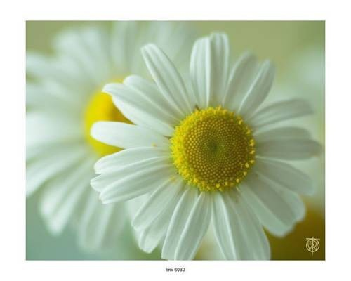 daisy, flower, nature, photography, hipster