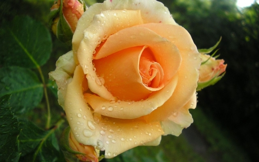 dew, drops, flower, rose