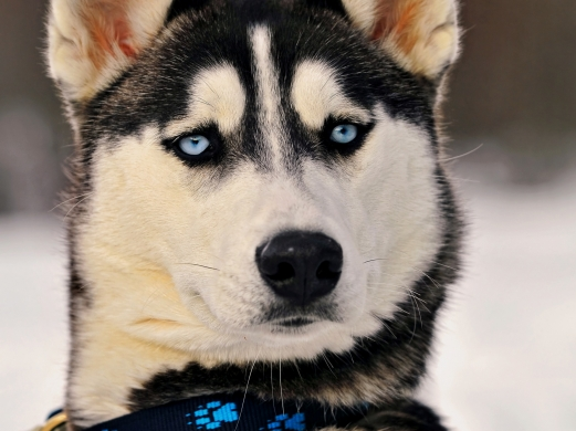 dog, eyes, the blue