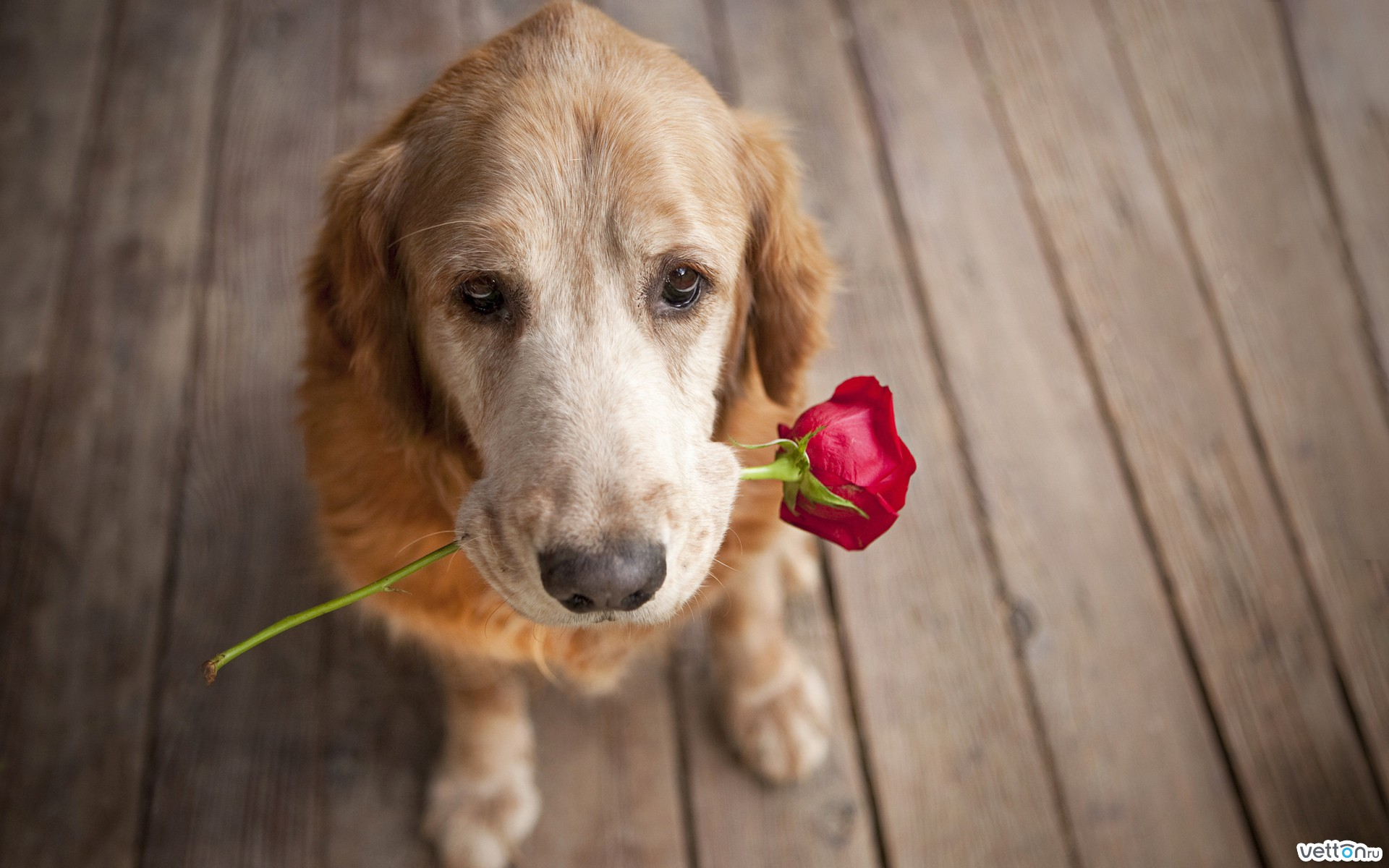 dog, flower, roses, gift, each