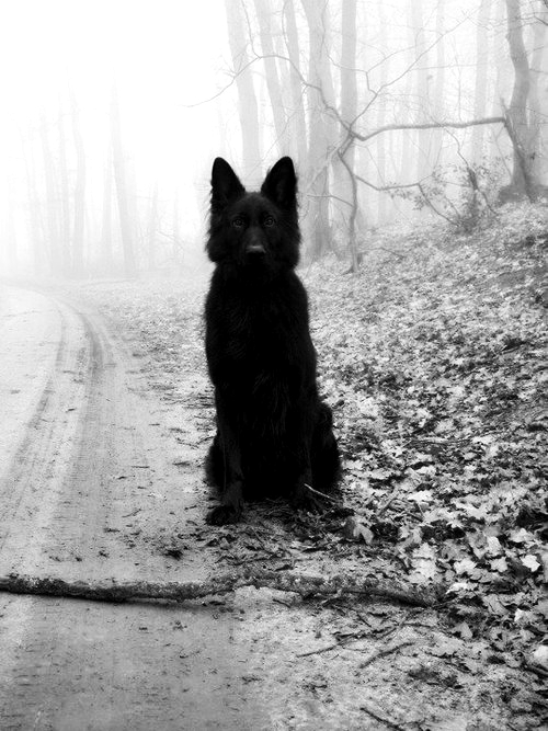 animal, black and white, dog, forest, lonly, sad, way