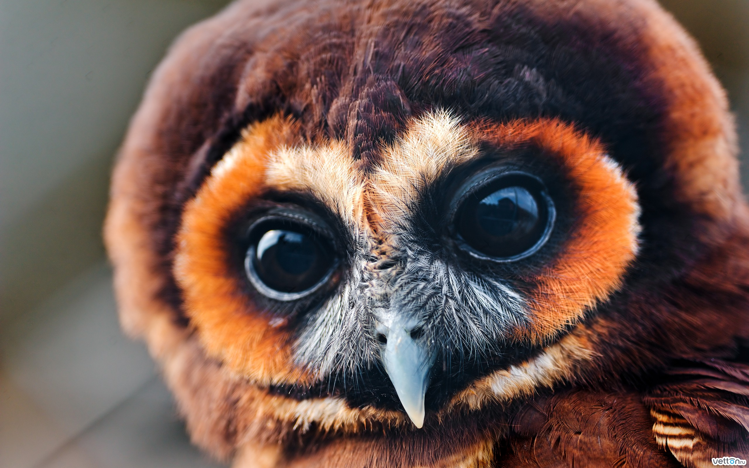 eyes, owl, owlet, great, look