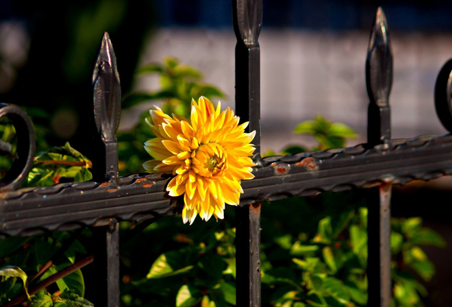 fence, flower, yellow