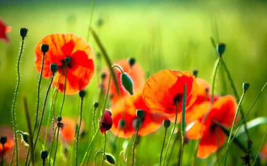 field, poppy, red