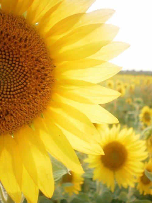 dreamy, flower, hazy, nature, photography, sunflower, vintage