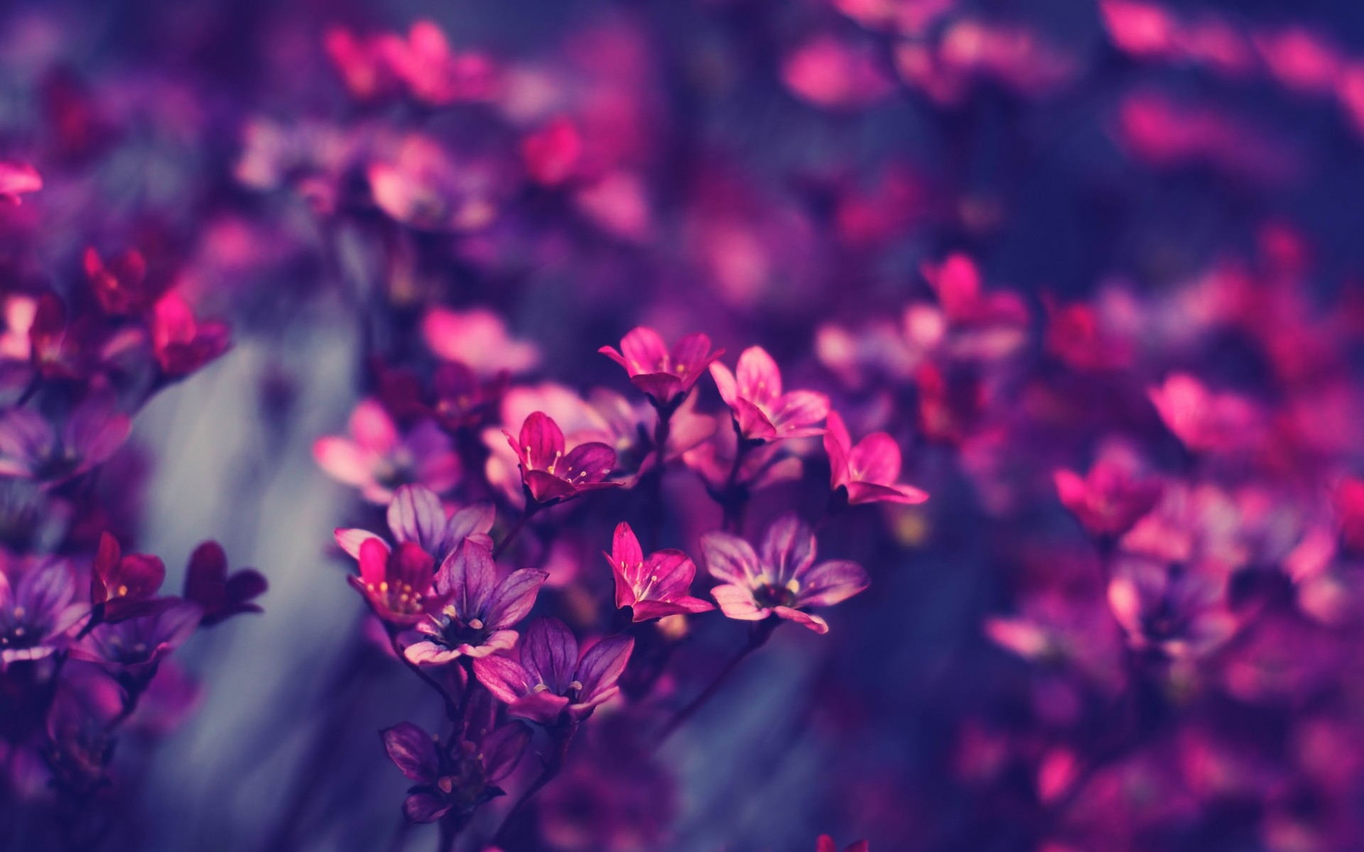 flowers, petals, purple