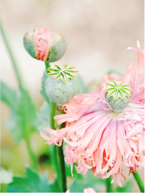 flowes, plants, nature, pastel flowers, pink