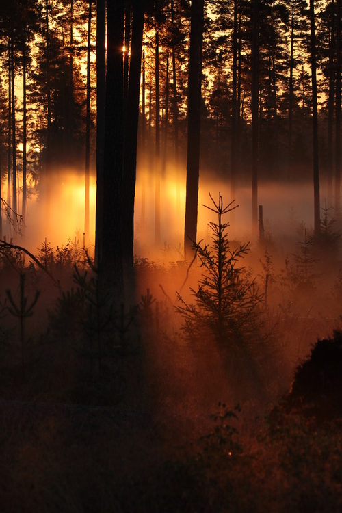 forest, trees, fog, nature, cool