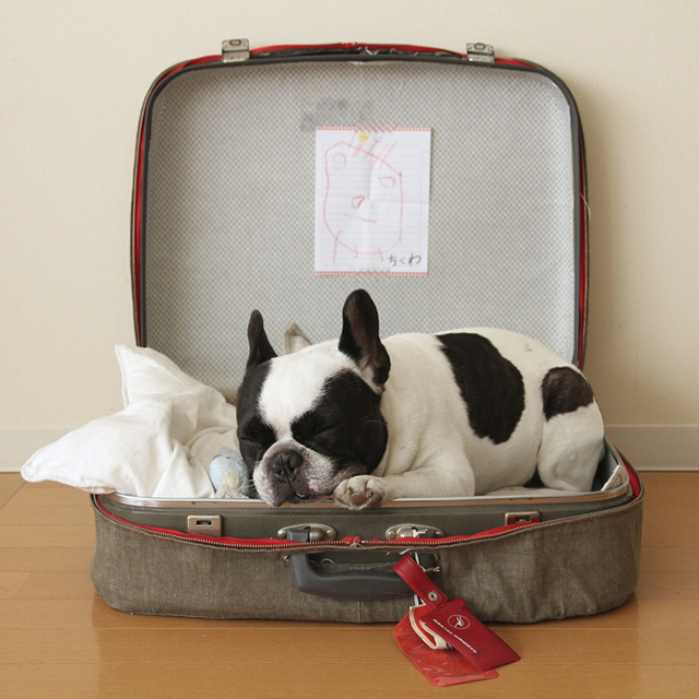 french, bulldog, cute, luggage, travel