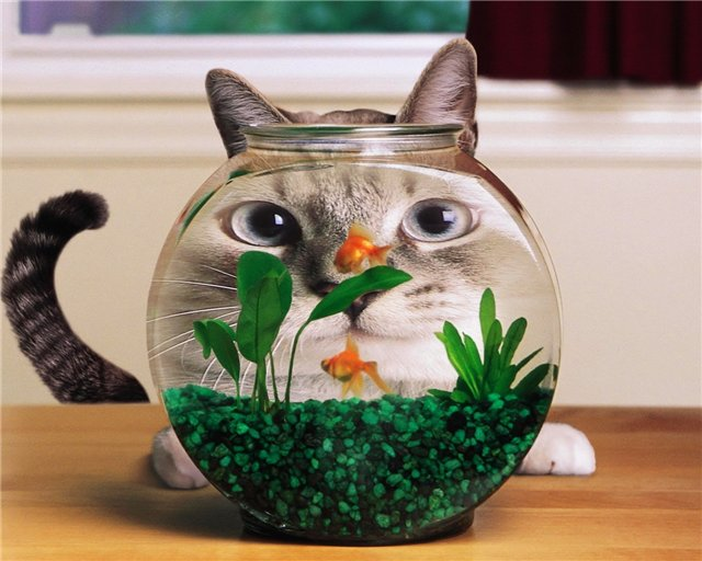 funny, animals, cat, fish