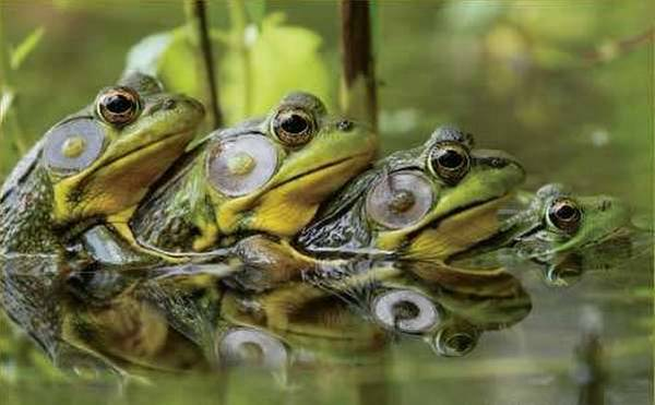 funny, animals, frogs