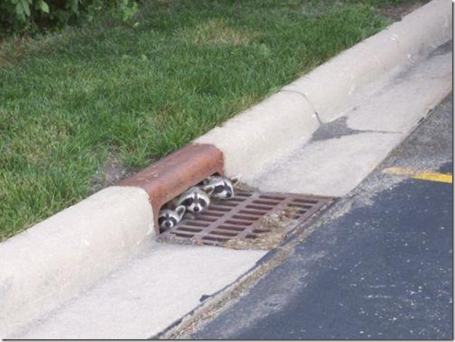 funny, animals, raccoons, road