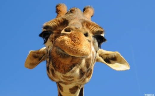 giraffe, african, animal, face